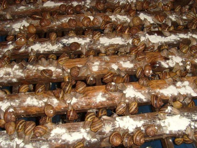 Разведение виноградных улиток в домашних условиях как бизнес: Обустройство террариума
