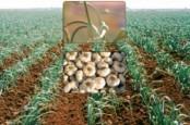 Выращивание и уход за чесноком в открытом грунте как бизнес в Украине