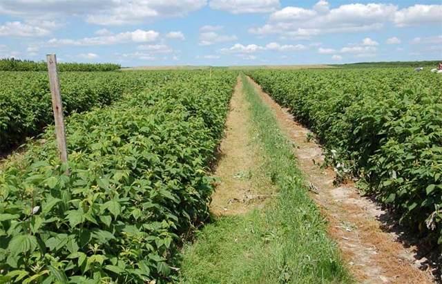 Рентабельность выращивания малины как бизнеса в домашних условиях