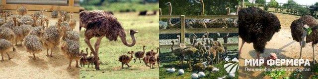 Разведение страусов как бизнес в домашних условиях для начинающих: С чего начать и как преуспеть?