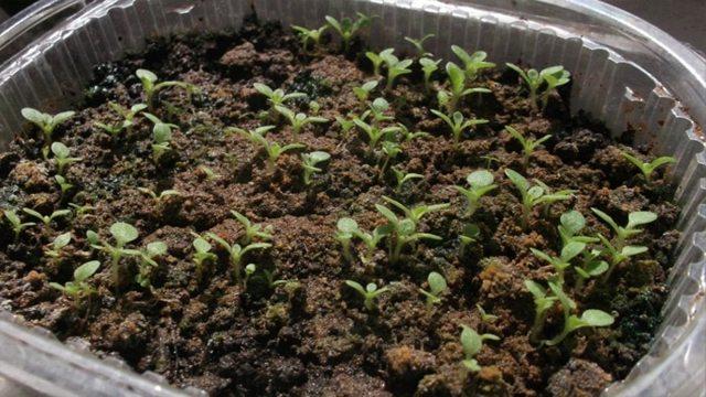 Идея выращивания табака как бизнес в домашних условиях в России