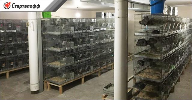 Разведение шиншилл как бизнес в домашних условиях: Выгодно или нет выращивать шиншилл?