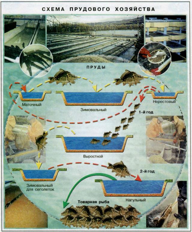 Разведение рыбы в искусственных водоемах как бизнес в домашних условиях