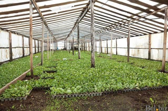 Идея выращивания садовой голубики как бизнес на даче: Посадка и уход