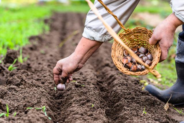 Как вырастить чеснок из семян: бизнес план
