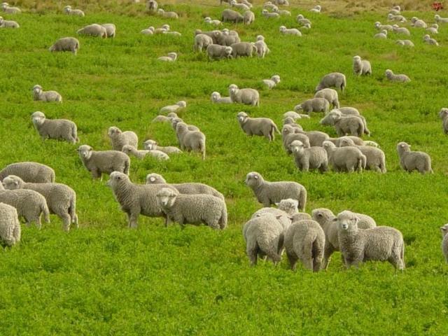 Разведение овец: с чего начать + пошаговый план