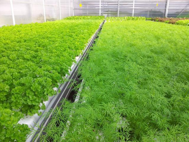 Выращивание зелени в теплице: пошагово с расчетами
