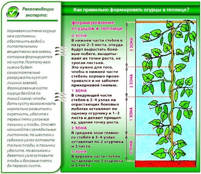 Как выращивать огурцы в теплице: 4 этапа для ухода