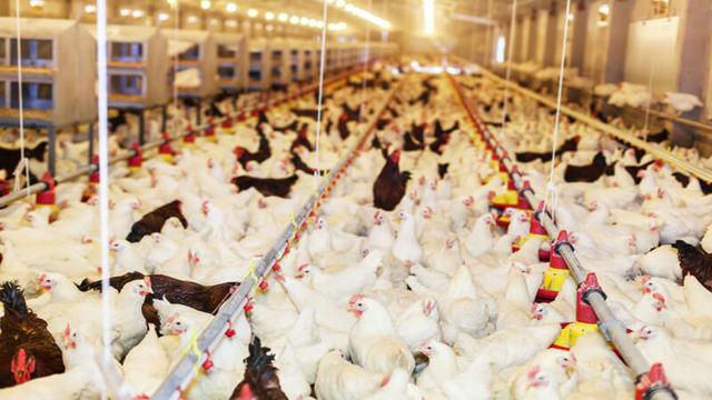 Птицеводство как бизнес: планирование и готовые расчеты